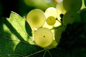 vignoble champenois champagne selosse